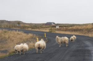 Häufige Unfallursache in den Sommermonaten: Schafe auf der Straße, ©Sabine Burger, Alexander Schwarz, 2012-09-13__MG_2648_00001