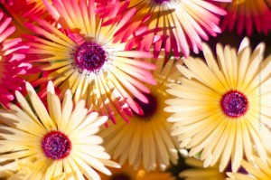 Zum Konudagur gibts Blumen, ©Sabine Burger, Alexander Schwarz, 2011-08-25__MG_8438_00159