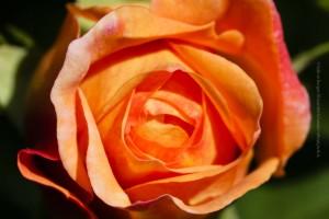 Am Konudagur dürfen Rosen nicht fehlen. ©Sabine Burger, Alexander Schwarz , IMG_3857__2009-05-24_16-38-05_aA