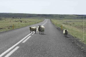 Stauverursacher – Auch deshlab ist es in Island anders Auto fahren. Immer wieder laufen oder stehen ausgebüchste Schafe auf der Straße oder rennen unvorsichtigerweise kurz vor einem vor den Wagen!© Sabine Burger, Alexander Schwarz, IMG_3019__2010-06-23_15-11-32_aA