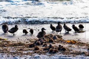 Bei der Grótta gibt es, vor allem im Sommer, wenn die Zugvögel den Strand bevölkern, viele Vogelarten zu bewundern. ©Sabine Burger, Alexander Schwarz, 2012-07-05__MG_6992_00037